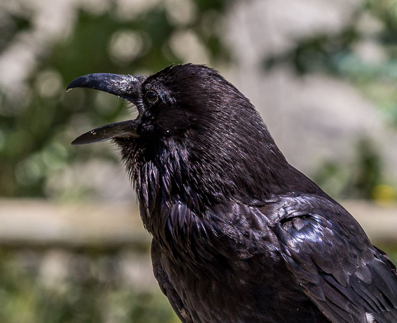 One of Banff National Park's enormous ravens. Dawn Page / CoastsideSlacking