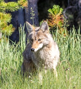 Coyote excitement at Banff National Park. Dawn Page / CoastsideSlacking