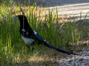 Magpie, here to soothe our disappointment at not seeing a moose.