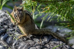 Chipmunk with breakfast at Banff National Park. Dawn Page / CoastsideSlacking