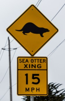Sea otter crossing at Moss Landing. Dawn Page / CoastsideSlacking