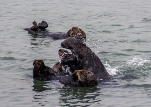 Sea otter shenanigans at Moss Landing. Dawn Page / CoastsideSlacking