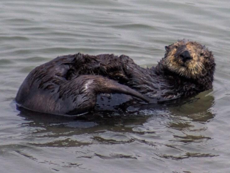 Sea otter at Moss Landing. Dawn Page / CoastsideSlacking