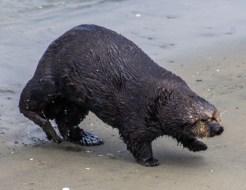 Sea otter channeling a raccoon at Moss Landing. Dawn Page / CoastsideSlacking