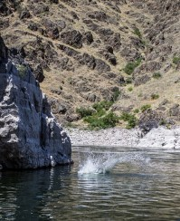 """Fearless """"deck hand"""" takes the plunge into the Snake River . Dawn Page / CoastsideSlacking"""
