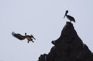 Pelicans clowning at Martins Beach, near Half Moon Bay, California. Dawn Page / CoastsideSlacking