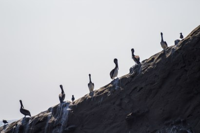 Pelican sentries at Martins Beach, near Half Moon Bay, California. Dawn Page / CoastsideSlacking