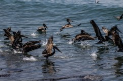 The Coastside supports a rich avian population, including pelicans, gulls, cormorants, plovers, dowitchers, terns and shearwaters. Dawn Page / CoastsideSlacking