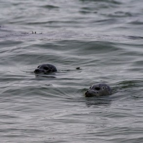 Harbor seals checking out the action at Martin's Beach near Half Moon Bay. Dawn Page / CoastsideSlacking