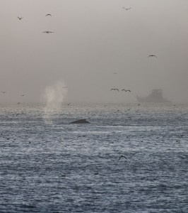 Whale at Surfer's Beach near Half Moon Bay. Dawn Page / CoastsideSlacking