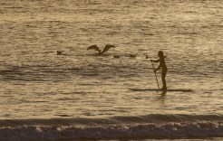 A paddle boarder encounters pelicans at Surfer's Beach near Half Moon Bay. Dawn Page / CoastsideSlacking