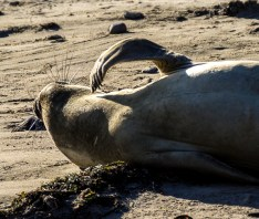 Young itchy elephant seal at Año Nuevo State Park in Pescadero, California. Dawn Page / CoastsideSlacking.