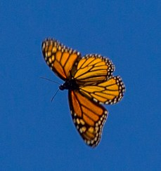 Monarch butterfly at Natural Bridges State Park in Santa Cruz. Dawn Page / CoastsideSlacking.