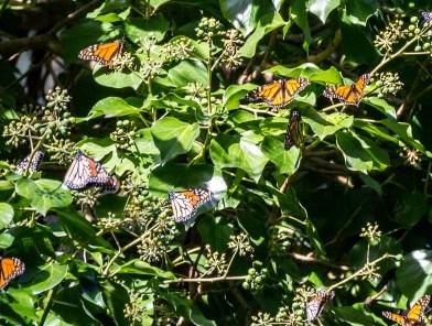 Monarch butterflies at Natural Bridges State Park in Santa Cruz. Dawn Page / CoastsideSlacking.