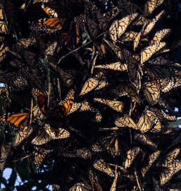 Clusters of dormant monarch butterflies at Natural Bridges State Park in Santa Cruz. Dawn Page / CoastsideSlacking.