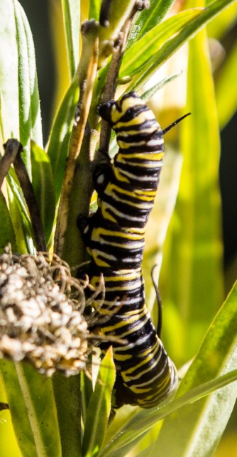 Monarch butterfly caterpillar at Natural Bridges State Park in Santa Cruz. Dan Page / CoastsideSlacking.