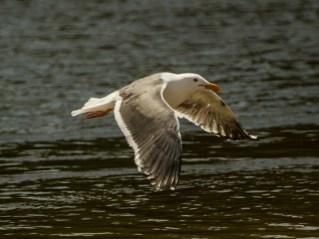 California gull. Pescadero Marsh Natural Preserve. Dawn Page/Coastside Slacking