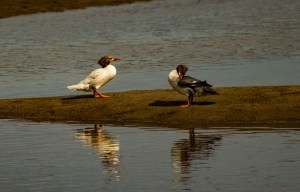 Common mergansers. Pescadero Marsh Natural Preserve. Dawn Page/Coastside Slacking