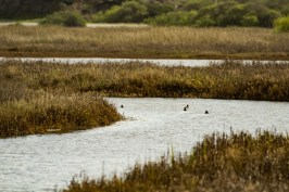 Coots. Pescadero Marsh Natural Preserve. Dawn Page/Coastside Slacking