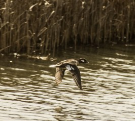 Blue-winged teal.. Pescadero Marsh Natural Preserve. Dawn Page/Coastside Slacking