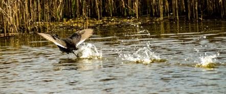 Blue-winged teal. Pescadero Marsh Natural Preserve. Dawn Page/Coastside Slacking