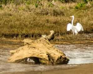 Snowy egret. Pescadero Marsh Natural Preserve. Dawn Page/Coastside Slacking