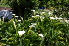 """Calla Lilies at the """"flower fields"""" in Montara. Dawn Page/CoastsideSlacking"""