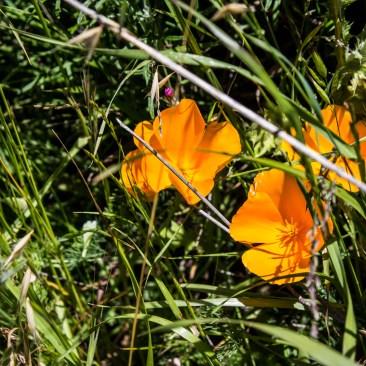 California poppies on the Dias Ridge Trail. Dawn Page/CoastsideSlacking
