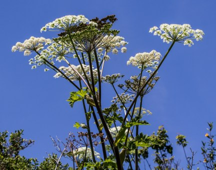 Cow Parsnip on Dias Ridge Trail. Dawn Page/CoastsideSlacking