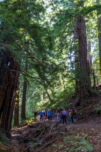 Redwood grove at Djerassi. Dawn Page/CoastsideSlacking