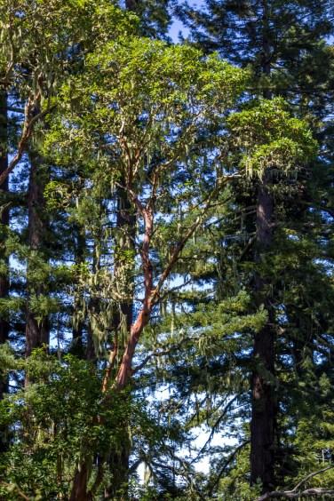 An outsized manzanita tree on the Djerassi grounds. Dawn Page/CoastsideSlacking