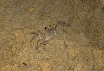 Ghost crab. Dawn Page/CoastsideSlacking