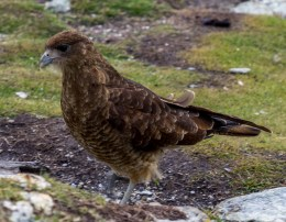 Falcon chimingo caracara at Tierra del Fuego. Dawn Page/CoastsideSlacking
