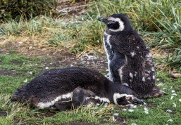 Magellanic penguins, Tierra del Fuego. Dawn Page/CoastsideSlacking