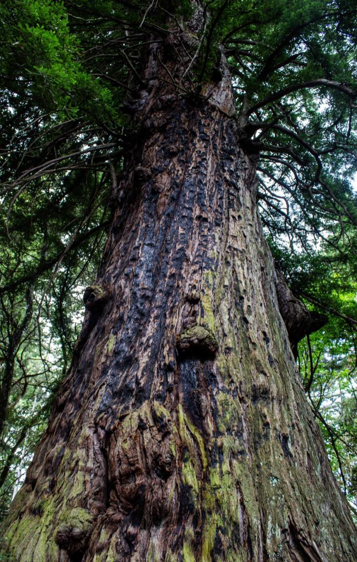 Methuselah Tree, El Corte de Madera Creek Preserve, San Mateo County, CA. Dawn Page/Coastside Slacking