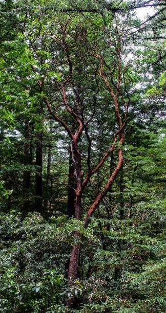 Manzanita tree, El Corte de Madera Creek Preserve, San Mateo County, CA. Dawn Page/Coastside Slacking
