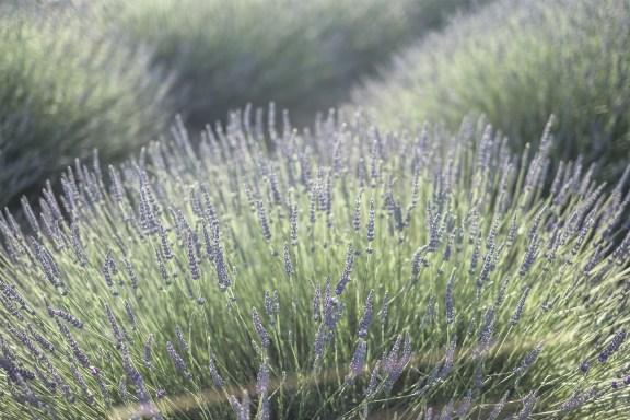 paca_valensole_lavender_fields_lavende_provence_round_lavender