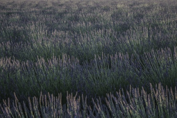 paca_valensole_lavender_fields_sunset