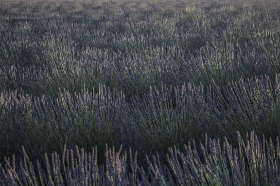 paca_valensole_lavender_fields_sunset