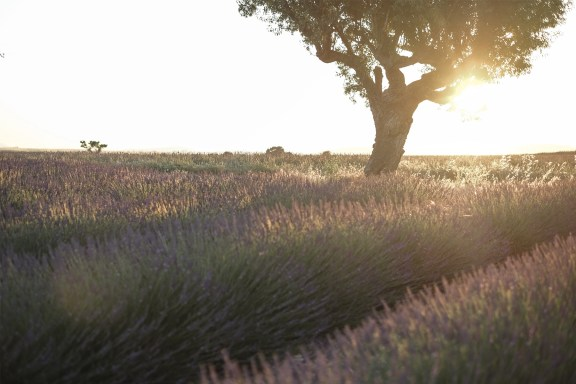 paca_valensole_lavender_fields_sunset_tree