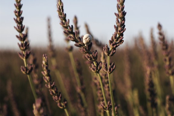 paca_valensole_lavender_fields_sunset_zoom_snail