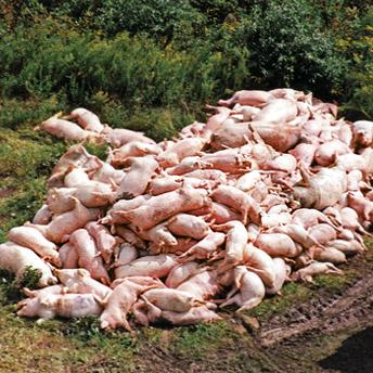 Dead Pork