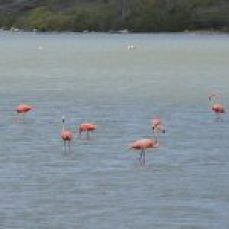 Flamingos wading off the beach in Curacao