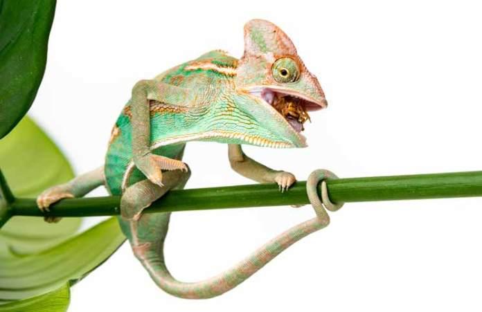 how to make chameleon dope
