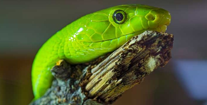The Green Snake Portrait