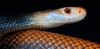 Taipan Snake