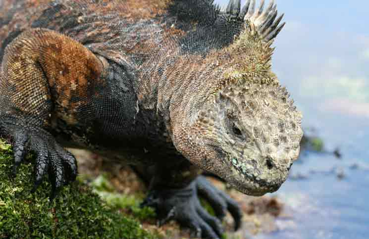 Iguana asexual reproduction