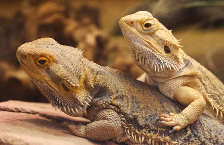 https://i1.wp.com/cobras.org/wp-content/uploads/2014/12/Bearded-Dragon-by-ptnphoto.jpg