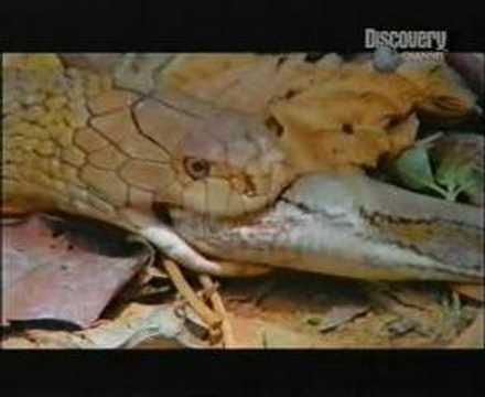 cobra vs python