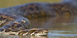 Python snake